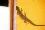 Madagascar giant day gecko (Phelsuma madagascariensis grandis) [madagascar_ankarafantsika_0486]