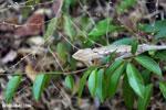Oustalet's chameleon [madagascar_ankarafantsika_0491]