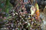 Bulbous flowers in Madagascar [madagascar_ankarafantsika_0493]
