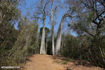 Adansonia madagascariensis baobab [madagascar_ankarafantsika_0495]