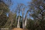 Adansonia madagascariensis baobab [madagascar_ankarafantsika_0496]
