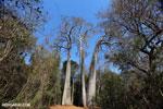 Adansonia madagascariensis baobab [madagascar_ankarafantsika_0497]