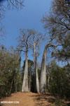 Adansonia madagascariensis baobab [madagascar_ankarafantsika_0498]