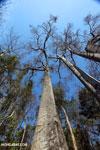 Adansonia madagascariensis baobab [madagascar_ankarafantsika_0499]