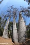 Adansonia madagascariensis baobab [madagascar_ankarafantsika_0502]