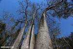Adansonia madagascariensis baobab [madagascar_ankarafantsika_0504]