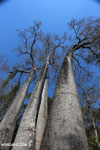 Adansonia madagascariensis baobab [madagascar_ankarafantsika_0506]