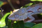 Oustalet's chameleon [madagascar_ankarafantsika_0509]