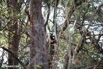 Coquerel's sifaka (Propithecus coquereli) [madagascar_ankarafantsika_0516]