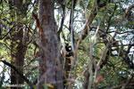 Coquerel's sifaka (Propithecus coquereli) [madagascar_ankarafantsika_0517]