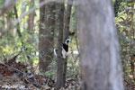 Coquerel's sifaka (Propithecus coquereli) [madagascar_ankarafantsika_0518]
