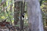 Coquerel's sifaka (Propithecus coquereli) [madagascar_ankarafantsika_0520]