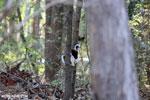 Coquerel's sifaka (Propithecus coquereli) [madagascar_ankarafantsika_0521]