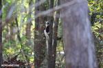 Coquerel's sifaka (Propithecus coquereli) [madagascar_ankarafantsika_0522]