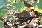 Rodent [madagascar_ankarafantsika_0530]