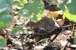 Rodent [madagascar_ankarafantsika_0532]