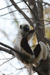 Coquerel's sifaka (Propithecus coquereli) [madagascar_ankarafantsika_0539]