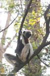 Coquerel's sifaka (Propithecus coquereli) [madagascar_ankarafantsika_0545]