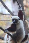 Coquerel's sifaka (Propithecus coquereli) [madagascar_ankarafantsika_0555]