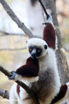 Coquerel's sifaka (Propithecus coquereli) [madagascar_ankarafantsika_0556]