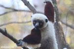 Coquerel's sifaka (Propithecus coquereli) [madagascar_ankarafantsika_0557]