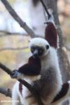 Coquerel's sifaka (Propithecus coquereli) [madagascar_ankarafantsika_0560]