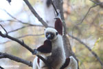 Coquerel's sifaka (Propithecus coquereli) [madagascar_ankarafantsika_0563]