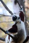 Coquerel's sifaka (Propithecus coquereli) [madagascar_ankarafantsika_0575]