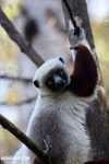 Coquerel's sifaka (Propithecus coquereli) [madagascar_ankarafantsika_0577]