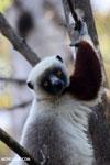 Coquerel's sifaka (Propithecus coquereli) [madagascar_ankarafantsika_0578]