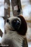 Coquerel's sifaka (Propithecus coquereli) [madagascar_ankarafantsika_0585]