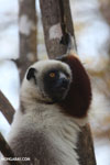 Coquerel's sifaka (Propithecus coquereli) [madagascar_ankarafantsika_0588]