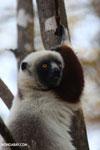 Coquerel's sifaka (Propithecus coquereli) [madagascar_ankarafantsika_0589]
