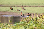 White-faced Whistling Ducks (Dendrocygna viduata) in Madagascar