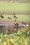 White-faced Whistling Ducks in Madagascar