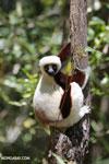 Coquerel's sifaka (Propithecus coquereli) [madagascar_ankarafantsika_0604]