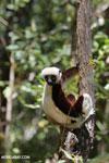 Coquerel's sifaka (Propithecus coquereli) [madagascar_ankarafantsika_0605]