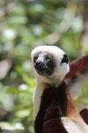 Coquerel's sifaka (Propithecus coquereli) [madagascar_ankarafantsika_0607]