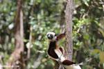 Coquerel's sifaka (Propithecus coquereli) [madagascar_ankarafantsika_0609]