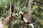 Coquerel's sifaka (Propithecus coquereli) [madagascar_ankarafantsika_0610]