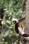 Coquerel's sifaka (Propithecus coquereli) [madagascar_ankarafantsika_0611]