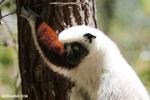 Coquerel's sifaka (Propithecus coquereli) [madagascar_ankarafantsika_0616]