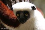 Coquerel's sifaka (Propithecus coquereli) [madagascar_ankarafantsika_0617]