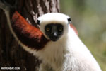 Coquerel's sifaka (Propithecus coquereli) [madagascar_ankarafantsika_0619]