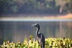 Humblot's Heron (Ardea humbloti) [madagascar_ankarafantsika_0627]