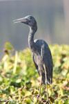 Humblot's Heron (Ardea humbloti) [madagascar_ankarafantsika_0631]