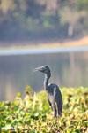 Humblot's Heron (Ardea humbloti) [madagascar_ankarafantsika_0633]
