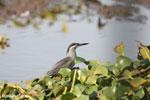 Striated Heron (Butorides striata) [madagascar_ankarafantsika_0638]