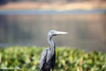 Humblot's Heron (Ardea humbloti) [madagascar_ankarafantsika_0640]