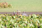 Striated Heron (Butorides striata) [madagascar_ankarafantsika_0645]